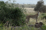 CHEETAH CUB Photo 1